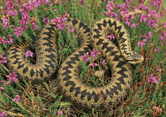[Adder or Viper, Thanks to Encyclopedia Britannica Online]
