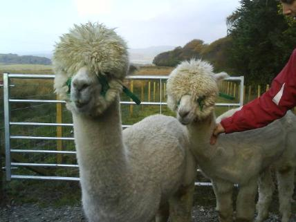 [Angus and Gary the Alpacas]