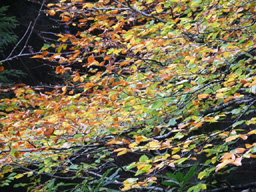 [Autumn Leaves - Carradale 2007]