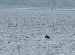 [Basking Shark off Carradale Harbour]