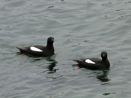 [Pair of Black Guillemotts in Carradale Harbour]