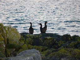 [Cormorants by the Harbour]
