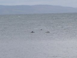 [Dolphins by Carradale Harbour]