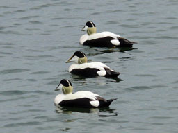 [Group of male Eider ducks in Carradale Harbour]