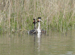 [Great Crested Grebes]