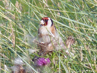 [Goldfinch and Thistle, Carradale Beach]