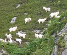 [Carradale Goats]