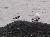 [Oyster Catchers and a Herring Gull]