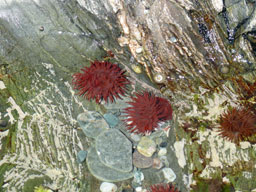 [Sea anemones in rockpools]