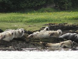 [Seals at Carradale]