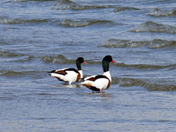 [Pair of Shelduck on Carradale Beach]